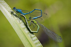 Damselflies mating Royalty Free Stock Image