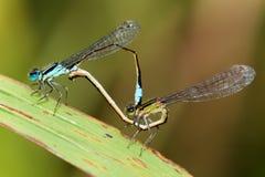 Damselflies Mating - Ischnura Graellsii Royalty Free Stock Images