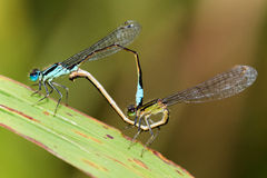 Damselflies mating - Ischnura graellsii Royalty Free Stock Images