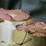 Damselflies mating Stock Photography
