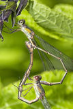 Damselflies mating on a tree branche royalty free stock photo