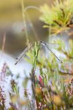 Damselflies on a plant Royalty Free Stock Photography