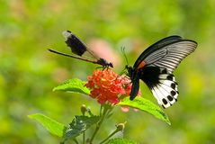 damselfly бабочки вражеский к Стоковая Фотография RF
