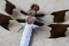 damselfly детализирует крыло Стоковая Фотография RF