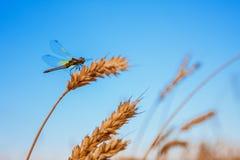 Damselfly на ухе пшеницы Стоковое фото RF