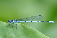 damselfly общего сини Стоковая Фотография RF