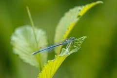 damselfly общего bluetail Стоковое Изображение