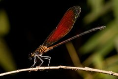 Damselfly 1 Royalty Free Stock Images