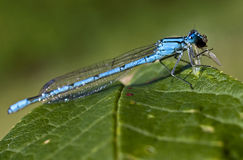 Damselfly Royalty Free Stock Photo