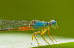 damselfly Obrazy Royalty Free