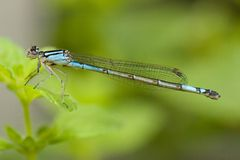 Damselfly Photos stock