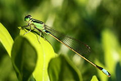 Free Damselfly Stock Images - 27733624