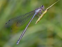Damselfly. The Azure Damselfly (Coenagrion puella) is a species of damselfly found in most of Europe royalty free stock photos