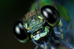 Damselfly. Macrophotography of a damselfly taken on the african rainforest Stock Image
