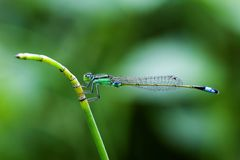 Damselfly fotos de stock royalty free