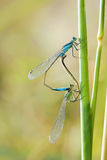 damselfly Photo libre de droits