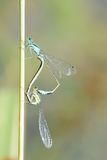 damselfly Stockbild