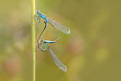 damselfly Royalty-vrije Stock Foto