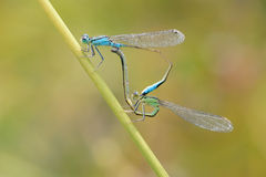 damselfly Image stock