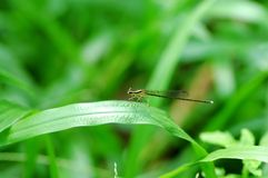 Damselfly. Damselflies on a stem with green background. a close up photography Royalty Free Stock Images