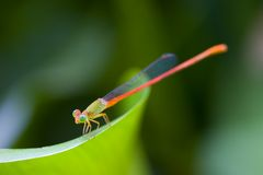 Damselfly Immagine Stock