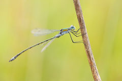 damselfly Images stock