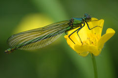 Damselfly Foto de Stock Royalty Free