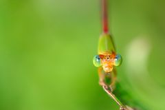 Damselfly. The dragonfly on a plant .waiting for the food Royalty Free Stock Image