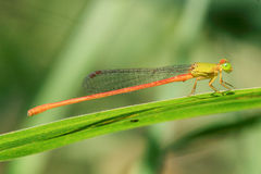 Free Damselfly Royalty Free Stock Image - 5527996