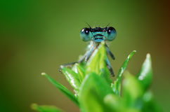 Free Damselfly Stock Images - 5624074