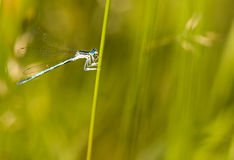 Damselfly Stock Images