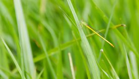Damselfly Agriocnemis perched on the green grass. stock images
