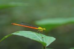 Damselfly anaranjado Fotografía de archivo