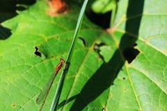Damselfly arancio Fotografie Stock Libere da Diritti