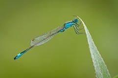 Damselfly Azul-atado foto de stock royalty free