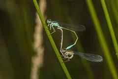 damselfly Azul-atado (elegans de Ischnura) Fotografía de archivo