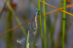 damselfly Azul-atado (elegans de Ischnura) Foto de archivo