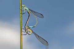 damselfly Azul-atado (elegans de Ischnura) Imagen de archivo libre de regalías