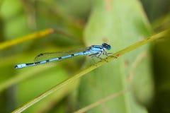 Damselfly azul común Imágenes de archivo libres de regalías