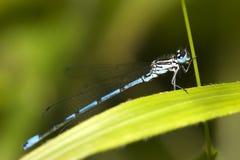 Damselfly azul común (cyathigerum de Enallagma) foto de archivo