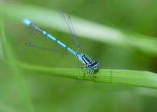 Damselfly azul comum imagens de stock