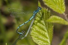 Damselfly azul comum (cyathigerum de Enallagma) Fotos de Stock Royalty Free