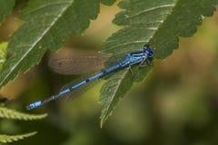 Damselfly azul comum (cyathigerum de Enallagma) Fotos de Stock