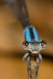 Damselfly azul em uma vara de madeira Imagem de Stock