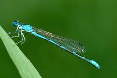 Damselfly azul en hierba verde Imagenes de archivo