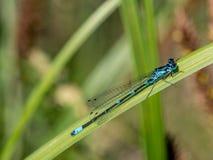 Damselfly azul en una cuchilla de la hierba - puella de Coenagrion, primer fotografía de archivo