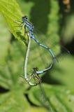 Damselfly azul - puella de Coenagrion Foto de archivo