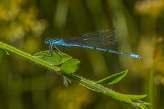 Damselfly azul (puella de Coenagrion) Imagen de archivo libre de regalías