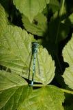 Damselfly Azure (puella de Coenagrion) Foto de Stock
