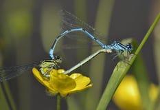 Damselfly azzurrato Fotografia Stock Libera da Diritti